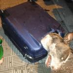 頭おかしい!スーツケースに入れられ、捨てられた犬の末路とは?